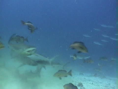 Sharks fighting