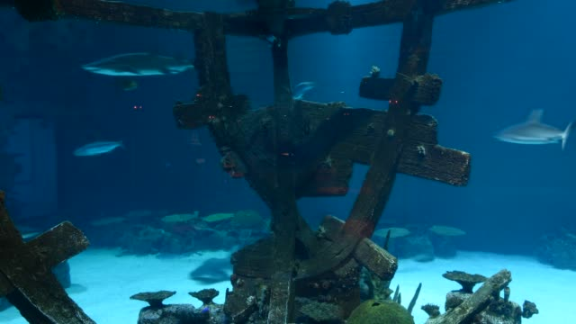 sharks, turtles and other marine animals swim at the 1.3-million-gallon shark reef aquarium at the mandalay bay resort and casino on october 22, 2013... - riff stock-videos und b-roll-filmmaterial