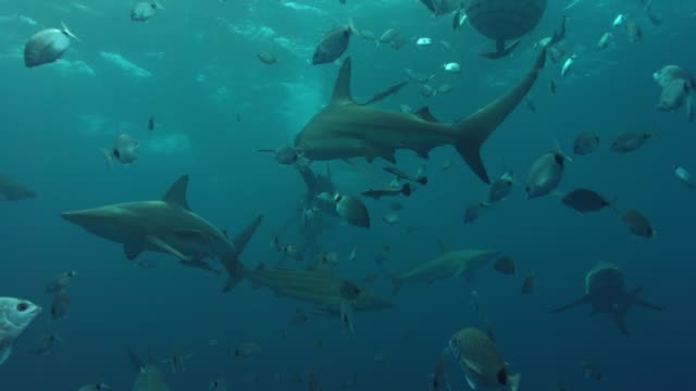 sharks with scuba divers underwater - tropical fish stock videos & royalty-free footage