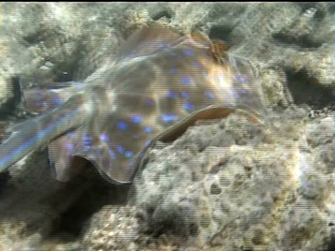 sharm el sheikh, red sea, egypt, bluespotted ribbontail ray (taeniura lymma) gliding over rocky reef. - bluespotted stingray stock videos & royalty-free footage