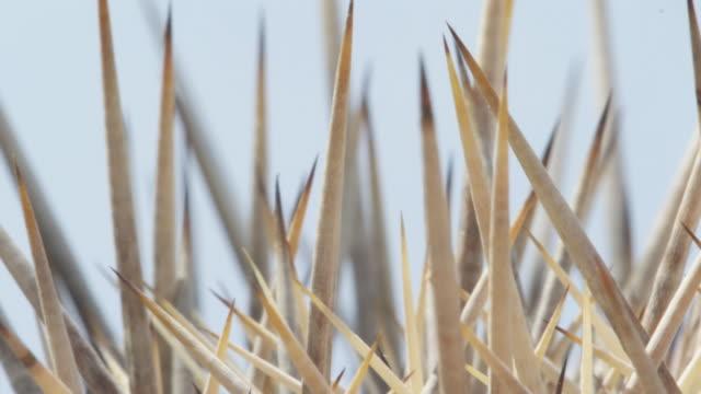 sharp black tips of barrel cactus - crisscross stock videos & royalty-free footage