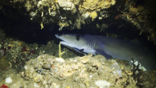 a sharp nosed grey shark hides in deep crevice in a crusty coral reef in dark water - kuta, indonesia - crevice stock videos & royalty-free footage