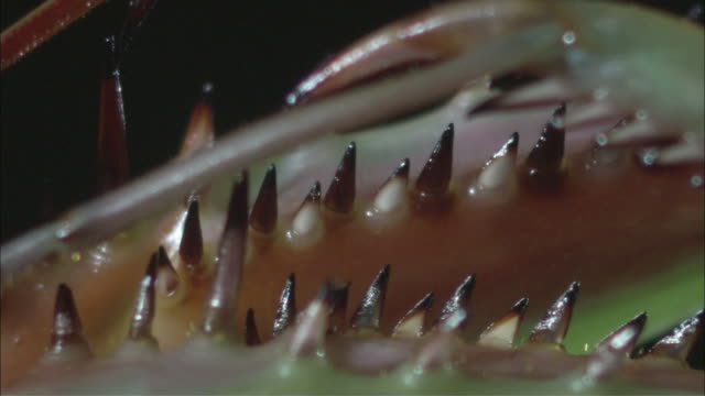 pan sharp spikes poking out along a praying mantis' forelegs / melbourne, victoria, australia - extreme close up stock videos & royalty-free footage