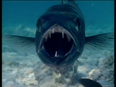 sharp toothed barracuda gapes at camera on tropical coral reef - barracuda stock videos & royalty-free footage