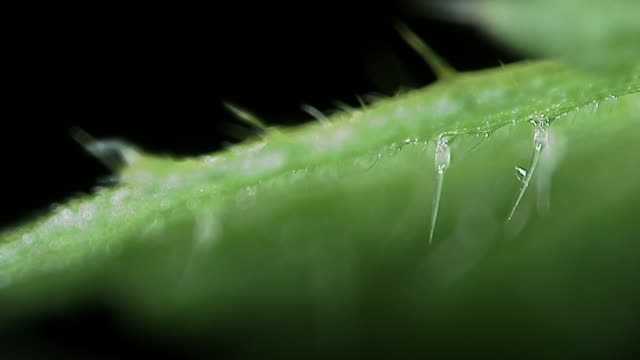 sharp trichomes on stinging nettle (urtica dioica) leaf, england - nettle stock videos & royalty-free footage