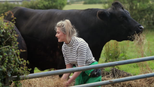 she loves working with the cattle - cow stock videos & royalty-free footage