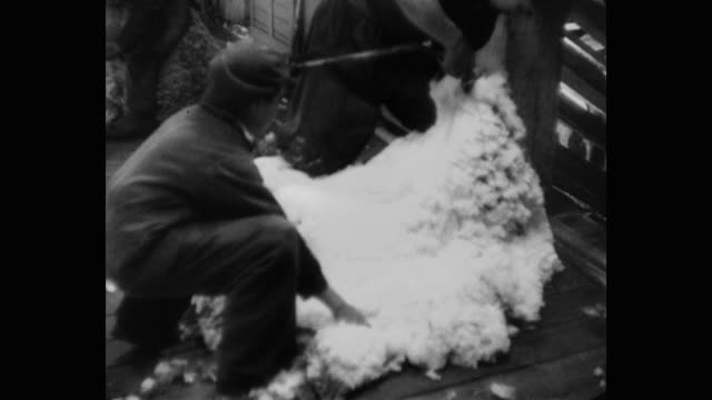 vidéos et rushes de shearers removing sheep's wool - mouton