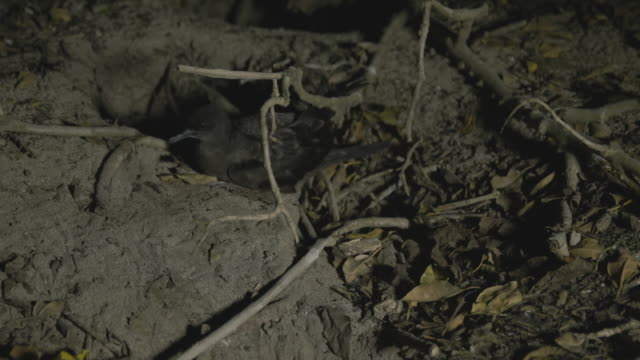 Shearwater parent nesting on ground at night