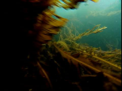 sheaves of kelp undulate in the ocean's current. - kelp stock-videos und b-roll-filmmaterial