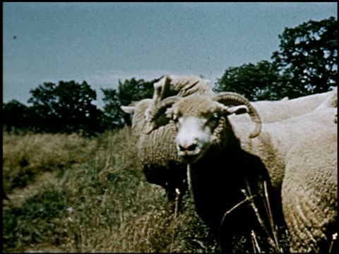 sheep - 11 of 23 - altri spezzoni di questa ripresa 2427 video stock e b–roll