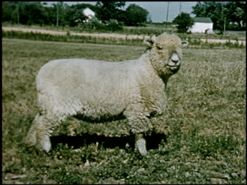 sheep - 12 of 23 - altri spezzoni di questa ripresa 2427 video stock e b–roll
