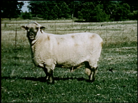 sheep - 13 of 23 - altri spezzoni di questa ripresa 2427 video stock e b–roll