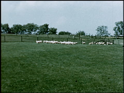 sheep - 14 of 23 - altri spezzoni di questa ripresa 2427 video stock e b–roll