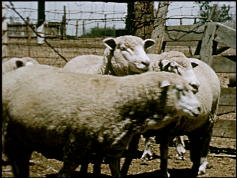 sheep - 17 of 23 - altri spezzoni di questa ripresa 2427 video stock e b–roll