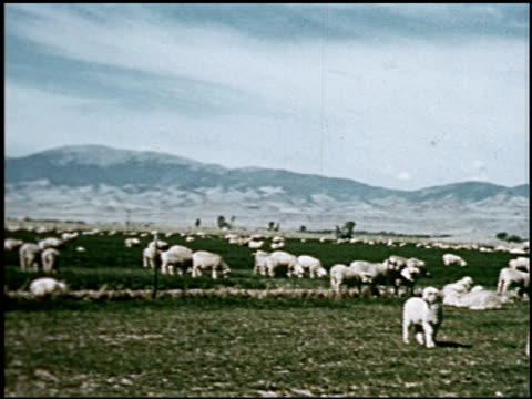 sheep - 18 of 23 - altri spezzoni di questa ripresa 2427 video stock e b–roll