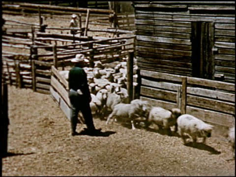 sheep - 23 of 23 - altri spezzoni di questa ripresa 2427 video stock e b–roll