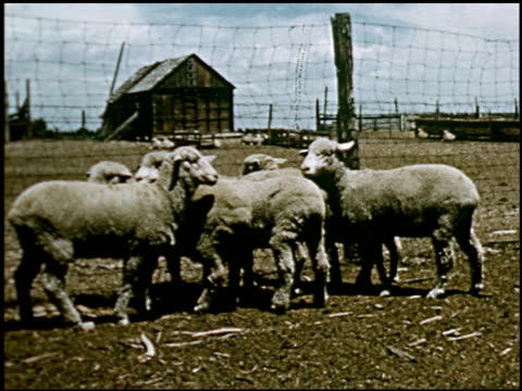 sheep - 3 of 23 - altri spezzoni di questa ripresa 2427 video stock e b–roll