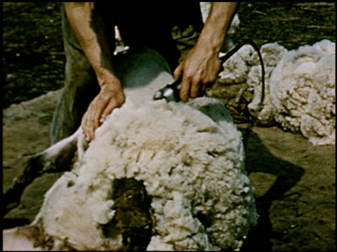 sheep - 5 of 23 - altri spezzoni di questa ripresa 2427 video stock e b–roll