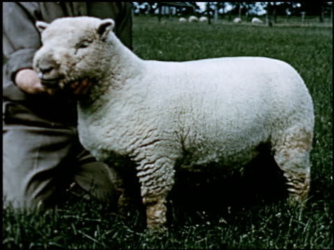 sheep - 7 of 23 - altri spezzoni di questa ripresa 2427 video stock e b–roll