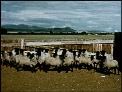 sheep - 8 of 23 - altri spezzoni di questa ripresa 2427 video stock e b–roll