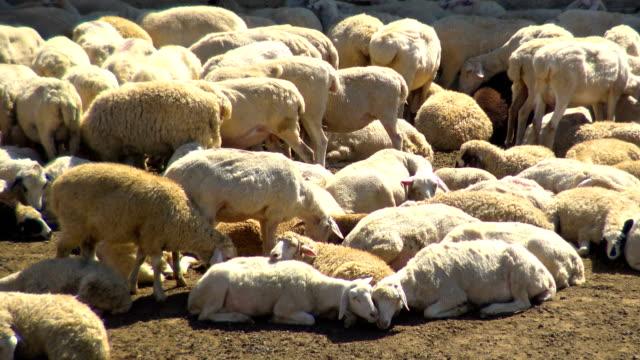 sheep after shearing - sheep shearing stock videos & royalty-free footage