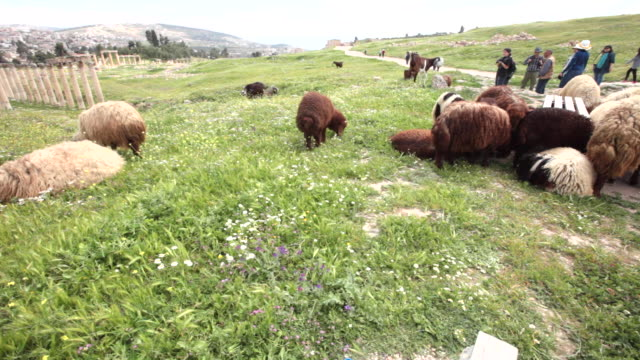 sheep among the ruins of the ancient greco-roman city of gerasa in jerash, jordan - flock of sheep stock videos & royalty-free footage