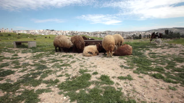 Sheep among the ruins of the ancient Greco-Roman city of Gerasa in Jerash, Jordan