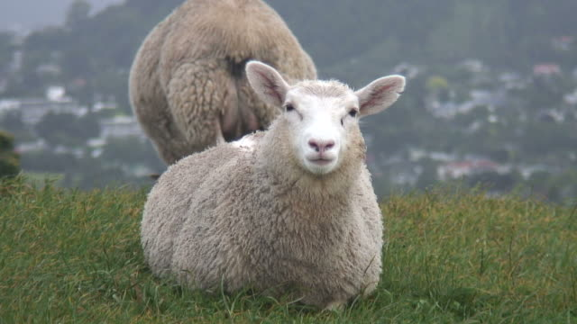 vídeos y material grabado en eventos de stock de hd: ovejas & cordero stares a la cámara y mastica, además de los hábitos alimenticios - oveja merina