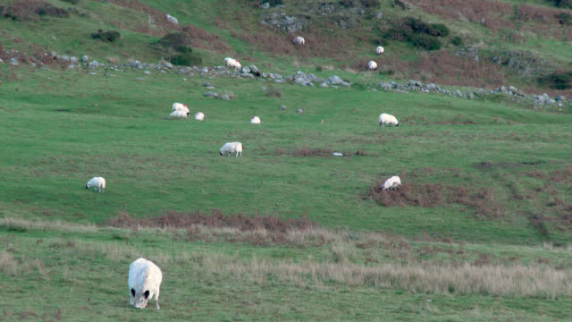 Sheep and a beef cow on a remote Scottish hillside