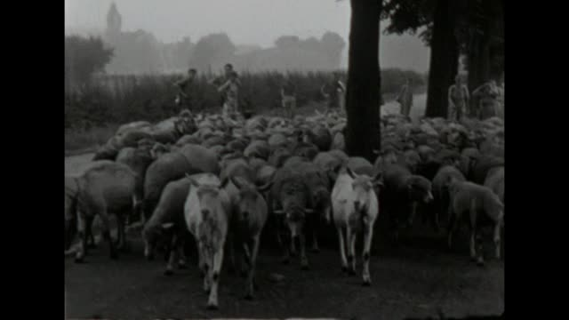 sheep and goats crossing the road while a school class hikes along / shot in 1957 - school bell stock videos & royalty-free footage