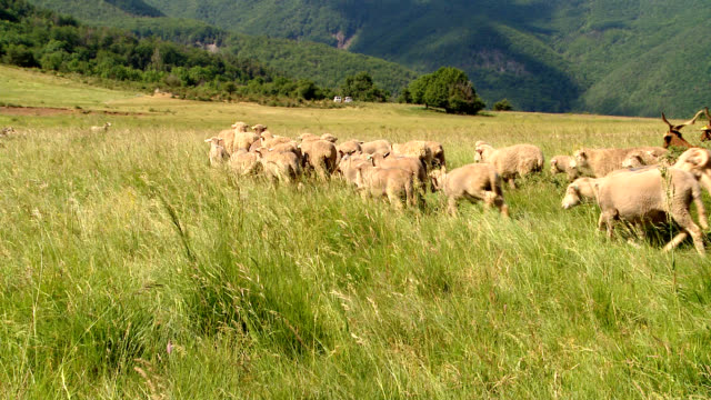 moutons et chèvres hd - sheep - sheep stock videos & royalty-free footage