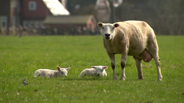 sheep and her lambs laying on the grass - polder stock videos and b-roll footage