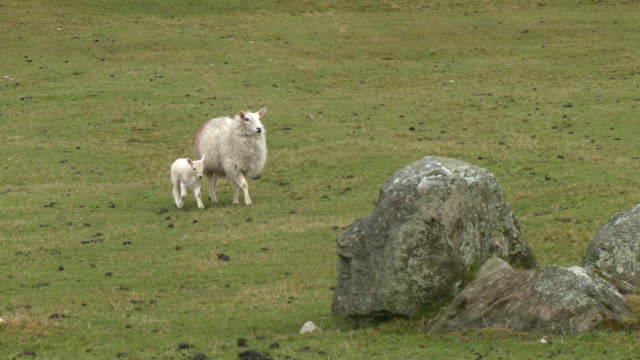 sheep and lamb walk in field - young animal stock videos & royalty-free footage
