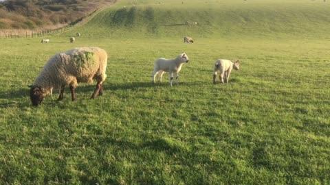 vídeos y material grabado en eventos de stock de sheep and lambs grazing in a field - grupo mediano de animales