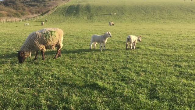 sheep and lambs grazing in a field - medium group of animals stock videos & royalty-free footage