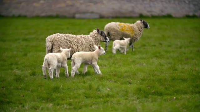 sheep and lambs in a field - sheep stock videos & royalty-free footage