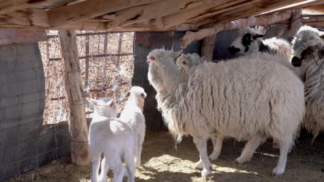 羊と羊のペンの中の羊と子羊 - 牧夫点の映像素材/bロール