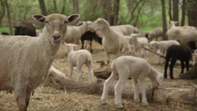 ms of sheep and lambs in farm - 動物の一団点の映像素材/bロール