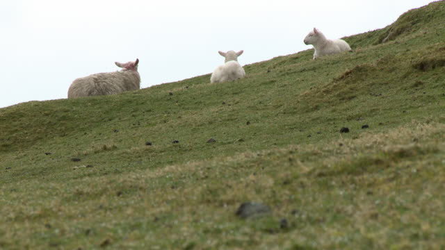 sheep and lambs on grass hill - uphill stock videos & royalty-free footage