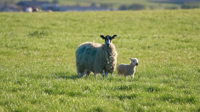 sheep and lambs walking, cayton, north yorkshire, england - farm stock videos & royalty-free footage