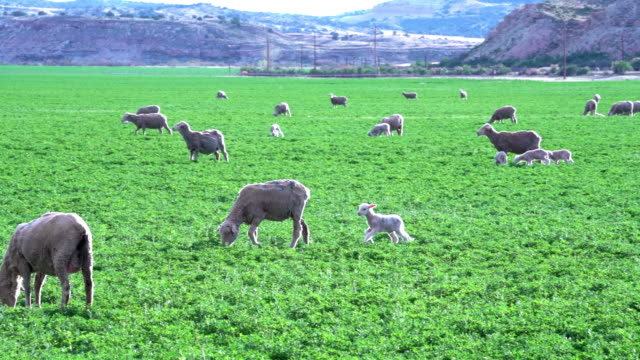 sheep and new born lambs frolicking, playing and grazing in a beautiful green pasture in utah at sunset - sheepdog stock videos & royalty-free footage