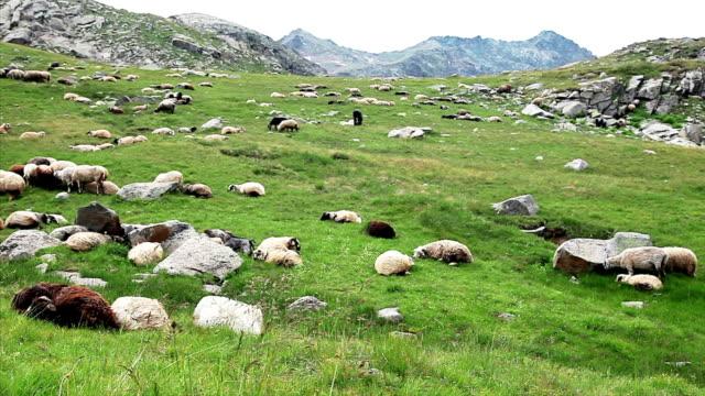 hd: schafe und shepherd - mutterschaf stock-videos und b-roll-filmmaterial