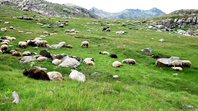 hd: sheep and shepherd - shepherd stock videos & royalty-free footage