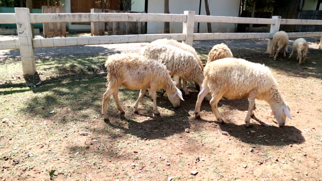 sheep animal eating in farm - peruvian ethnicity stock videos and b-roll footage