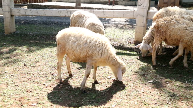 sheep animal eating in farm - peruvian ethnicity stock videos & royalty-free footage