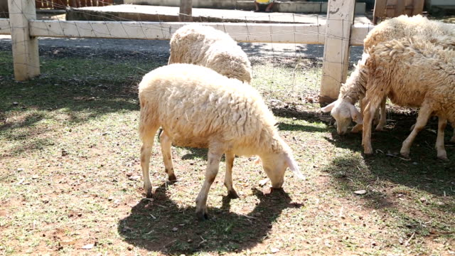 sheep animal eating - peruvian ethnicity stock videos & royalty-free footage