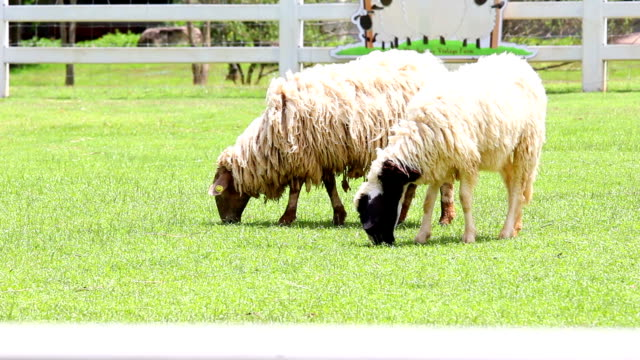 sheep animal eating - peruvian ethnicity stock videos and b-roll footage