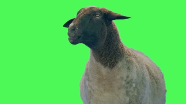 sheep animal on green screen - sheep stock videos & royalty-free footage