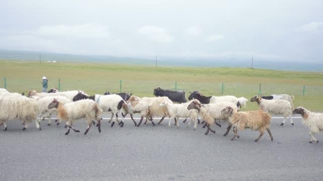 vidéos et rushes de moutons sont sur la route, qinghai, chine. - mouton