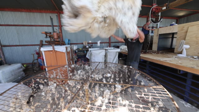 vídeos de stock e filmes b-roll de sheep are separated as sheep shearers steve kelly and jess shorter work in a makeshift shed near gunnedah in new south wales australia on tuesday... - tosquiar
